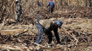 Des champs de cannes à sucre pour la fabrication d'éthanol.