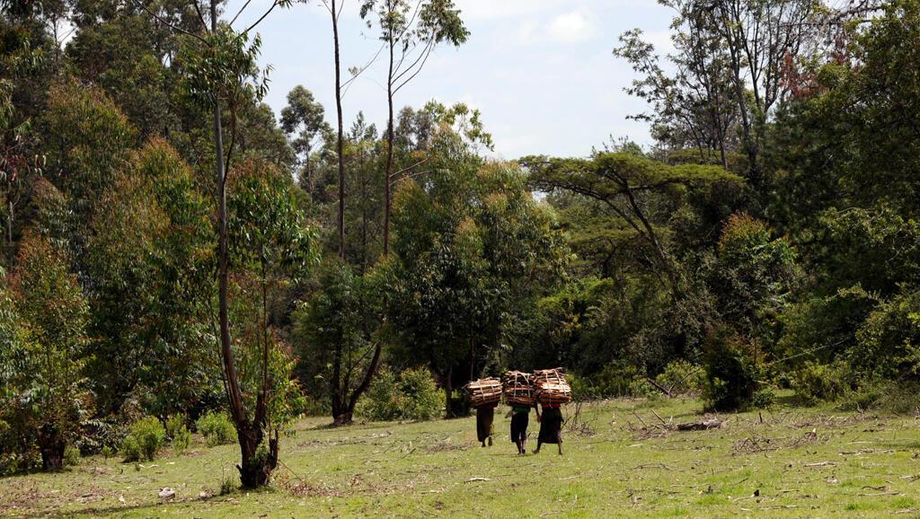 Msitu wa Mau nchini Kenya.