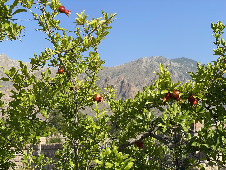Гранаты в Мегри на фоне иранских гор. Сюникская область. Армения. 14 июня 2021 год.