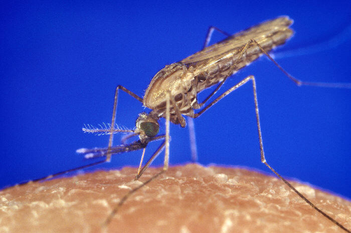 O mosquito Anopheles.