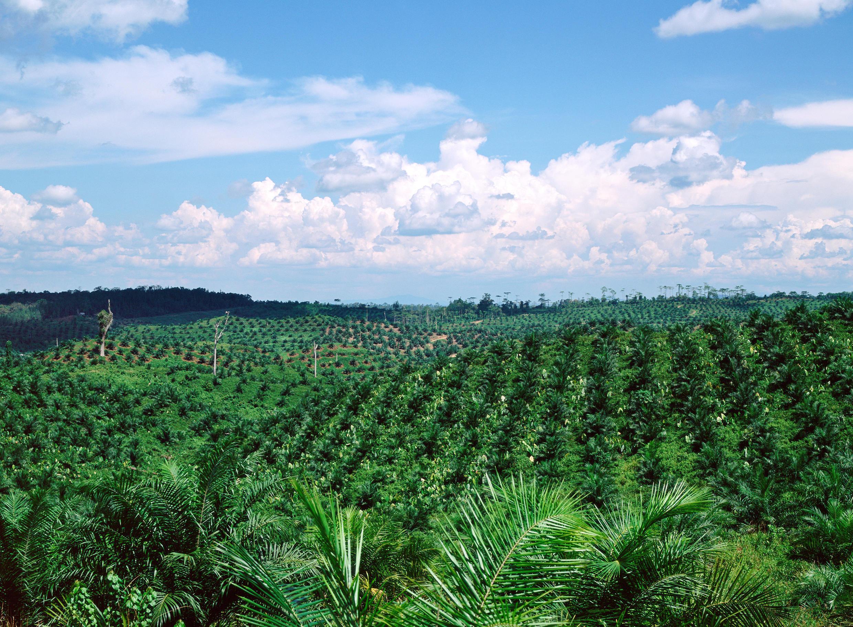 Un champ de palmiers à huile.