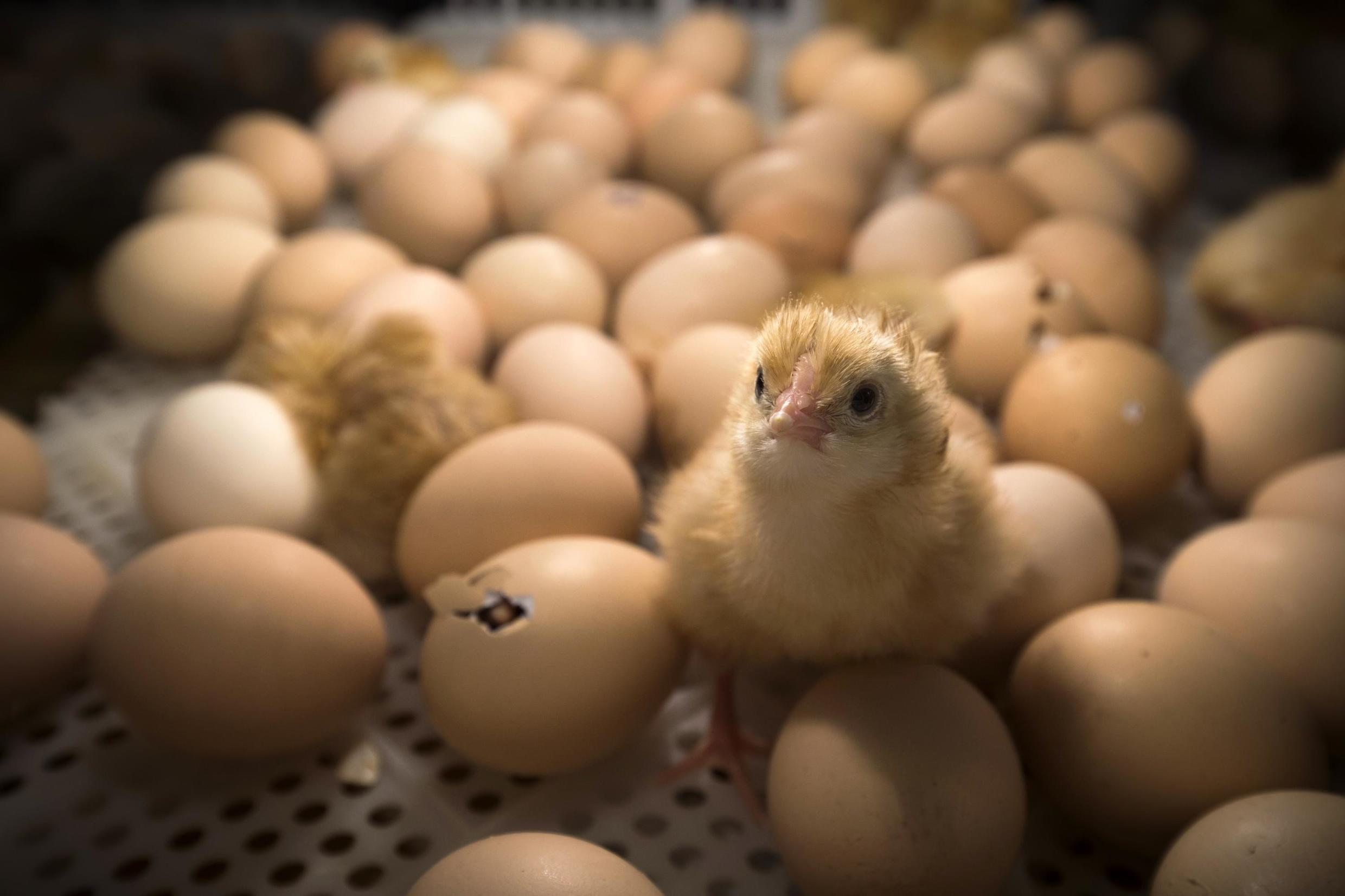 By the end of 2021, France will ban the controversial but widespread egg and poultry industry practice of systematically slaughtering male chicks, Agriculture Minister Didier Guillaume said on 28 January 2020.
