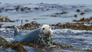 The grey seal is a protected species in France. Fishers are required to report when they acidentally catch the seals in their nets, but environmental protection groups believe the requirement is rarely respected.