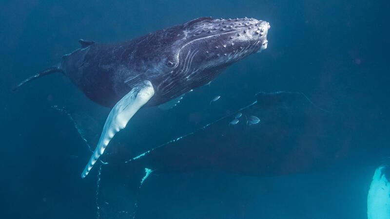 A baleia jubarte também é conhecida como baleia-corcunda ou baleia-cantora.