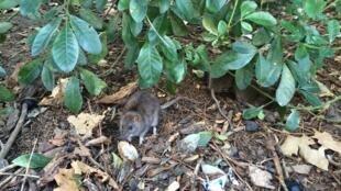 Ratos vistos pelas grades da praça da Torre de Saint-Jacques, fechada para desratização