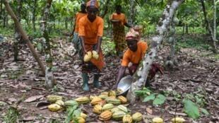 récolte fèves cacao afrique
