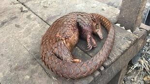 Un pangolin mort sur le marché à PK12, à Bangui.