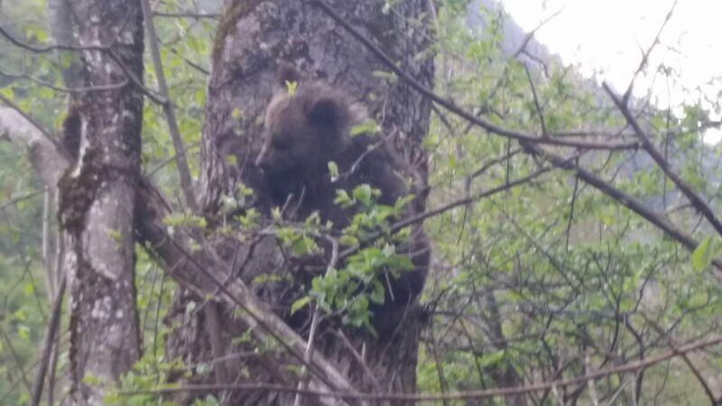 Auberta, the four month cub looking for her mom in the Pyrenees, 25 April 2014.