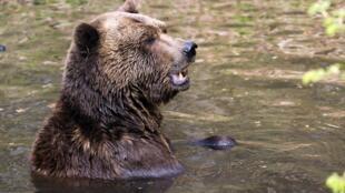 Un ours brun dans le parc Bärenwald Müritz en Allemagne, en avril 2013.