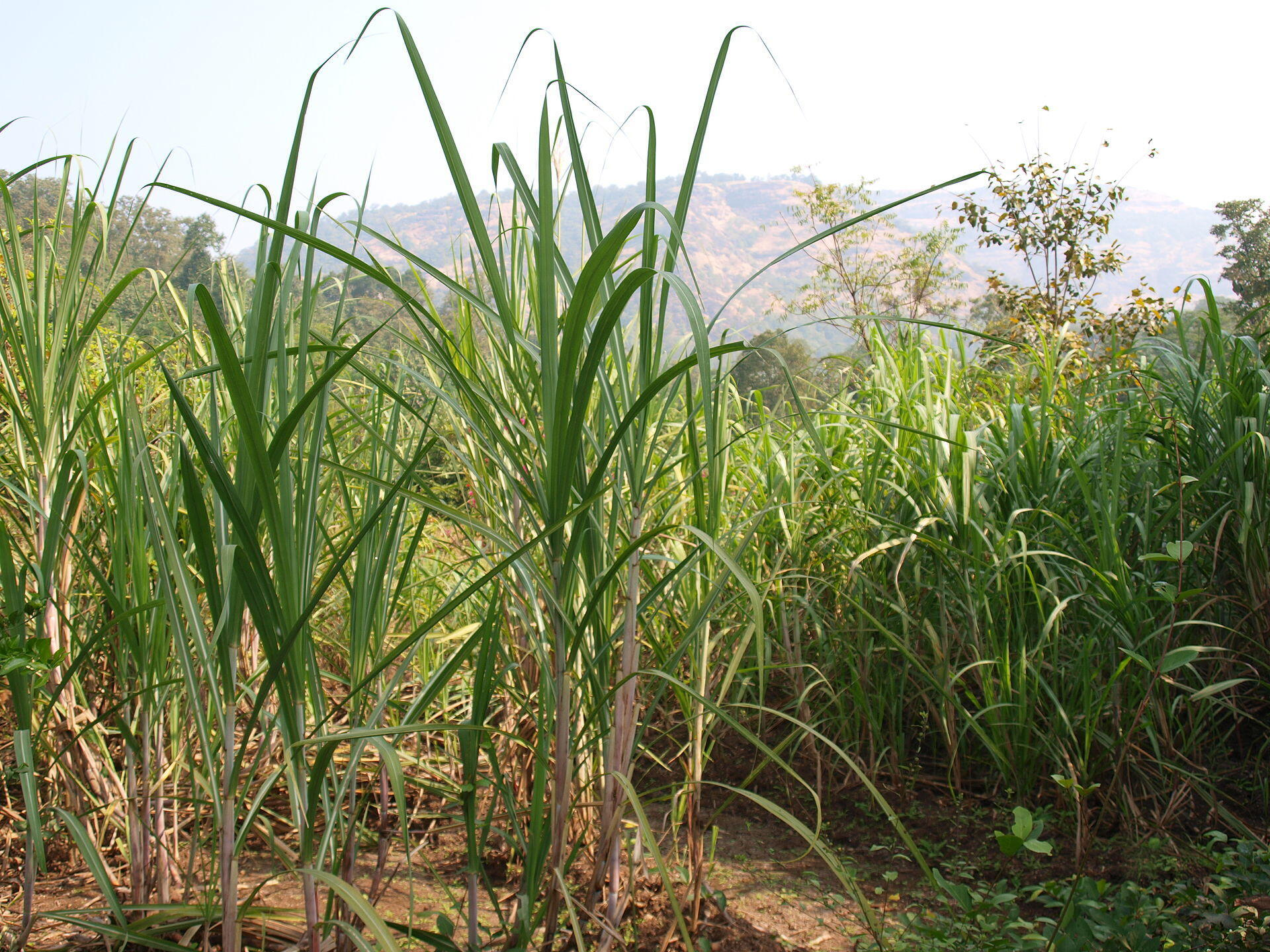 Freshly grown sugarcane. Agriculture is the second leading occupation in Maharashtra, India.