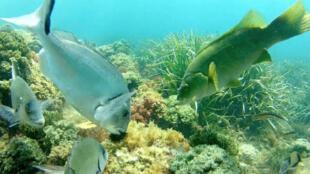 Depredación de un erizo de mar en el Mediterráneo.