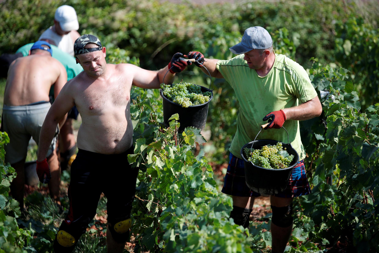 Сезонные рабочие собирают виноград в Шампани, 23 августа 2018.