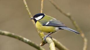 O programa de Seguimento Temporário dos Pássaros Comuns (Stoc) permitiu a publicação, em março, de um estudo alertando sobre o grave desaparecimento de aves no interior da França.
