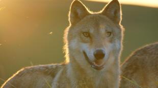 «Le dernier loup», de Jean-Jacques Annaud.