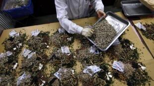北京醫科大學中醫學院中藥房藥劑師正在配置中藥。圖片攝於2011年5月25日