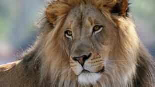 [Image d'illustration] des lions sont désormais achetés au Pakistan dans l'objectif d'en faire des animaux domestiques.