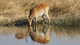 Lechwe drinking from a river in Nkasa Rupara National Park in Namibia's Zambezei region