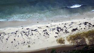 Image publiée par Sernapesca le 20 juillet 2016 montrant des baleines trouvées mortes sur la côte chilienne deux jours plus tôt.