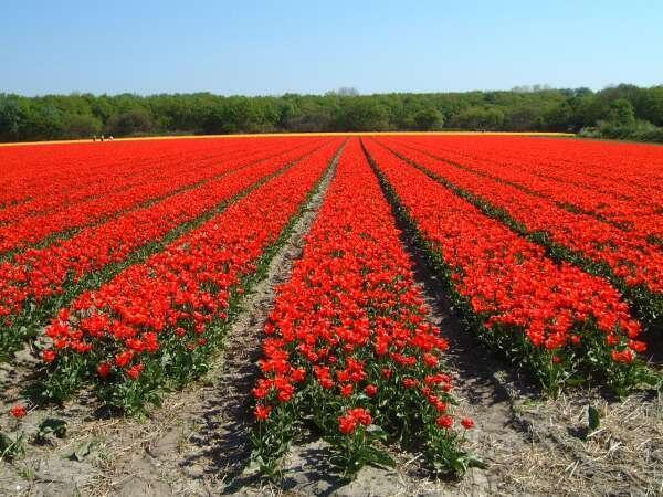 Một cánh đồng hoa tuy-lip (uất kim hương).