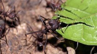 La population des insects est très menacée par la disparition des espèces sur terre. Ici, des fourmis coupe-feuille (photo d'illustration)