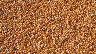 corn-264520
