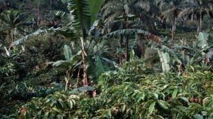 Une forêt tropicale au Cameroun (image d'illlustration).