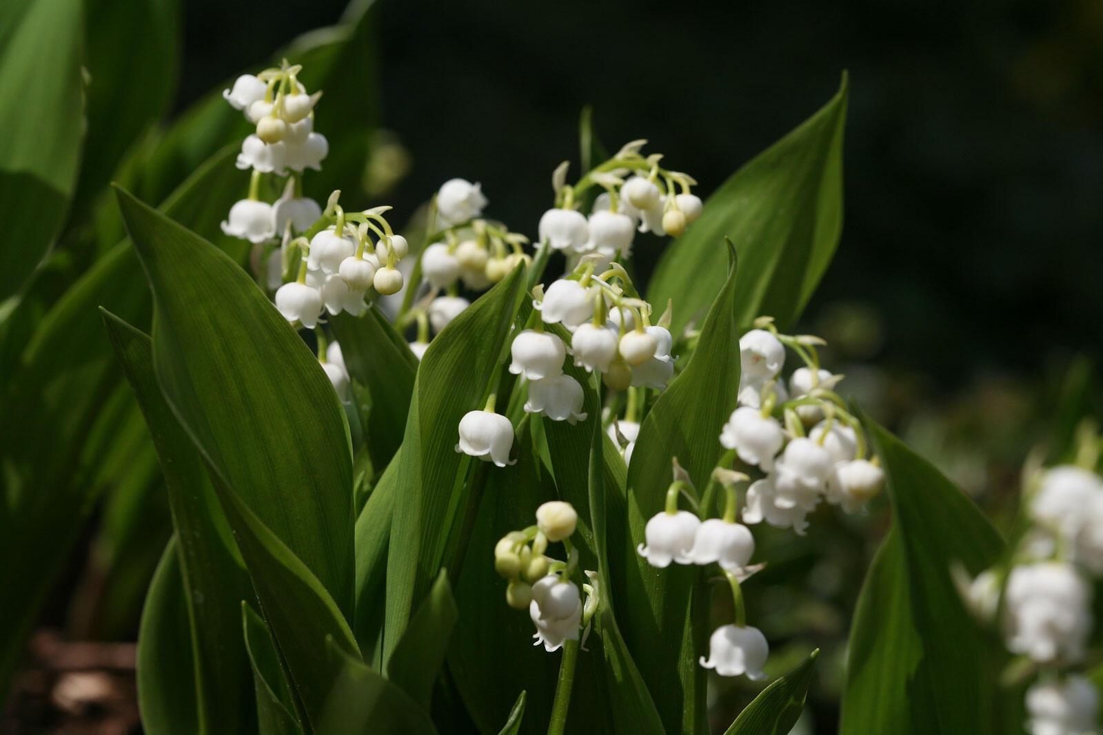 Le muguet, fleur porte-bonheur et symbole du 1er mai