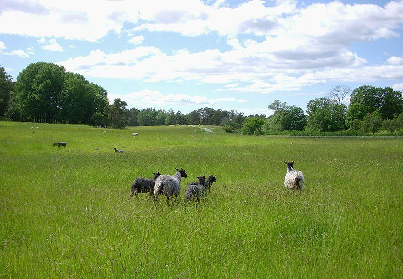 Des chèvres à Lidingö, une île de l'archipel de Stockholm près d'Elfvik en Suède.