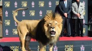 Leo, la mascota oficial de MGM, junto al actor Sylvester Stallone (right) y el CEO de la empresa, Gary Barber en una gala en Hollywood en 2014