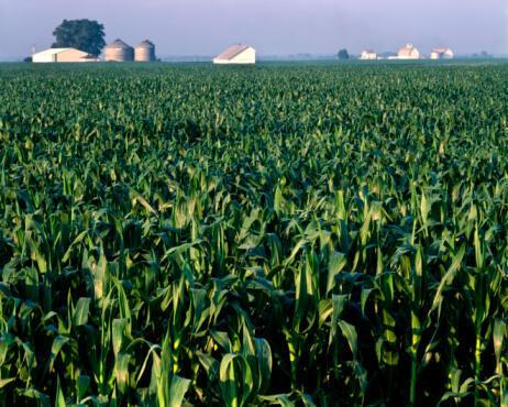 Un champ de mais dans une ferme de l'Illinois, dans le Middle West des Etats-Unis.