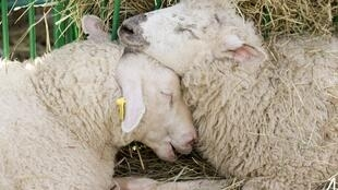 Sheep - not genetically modified as far as we know