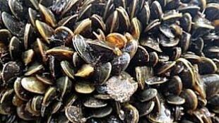 O mexilhão dourado (Limnoperna fortunei) não é comestível e se multiplica de forma ininterrupta.