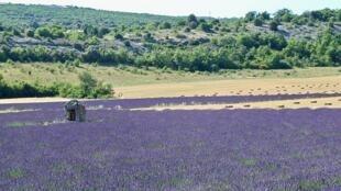 Un champs de lavande.
