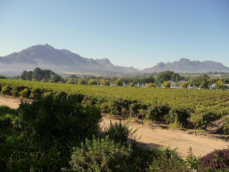 Un des célèbres vignobles de Stellenbosch, au Cap-Occidental, en Afrique du Sud.
