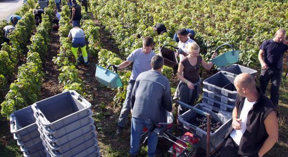 Сезонные рабочие на сборе винограда