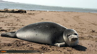 از مجموع یک میلیون فوک دریای خزر تنها ١٠٠ هزار فوک باقی مانده است.