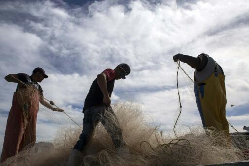 La vaquita marina mexicana está siendo exterminada por la pesca de la totoaba, porque queda atrapada en las mismas redes de los pescadores.