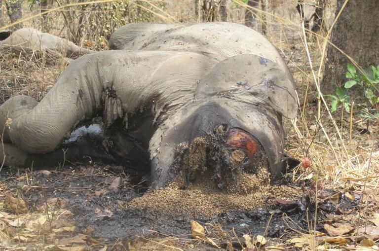 En février 2012, des braconniers s'étaient livrés à un véritable massacre d'éléphants dans le parc de Bouba N'Djidda, près de la frontière tchadienne.