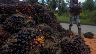 Un peón recoge fruto de palma durante la cosecha en una plantación indonesia. 15 de noviembre de 2016.