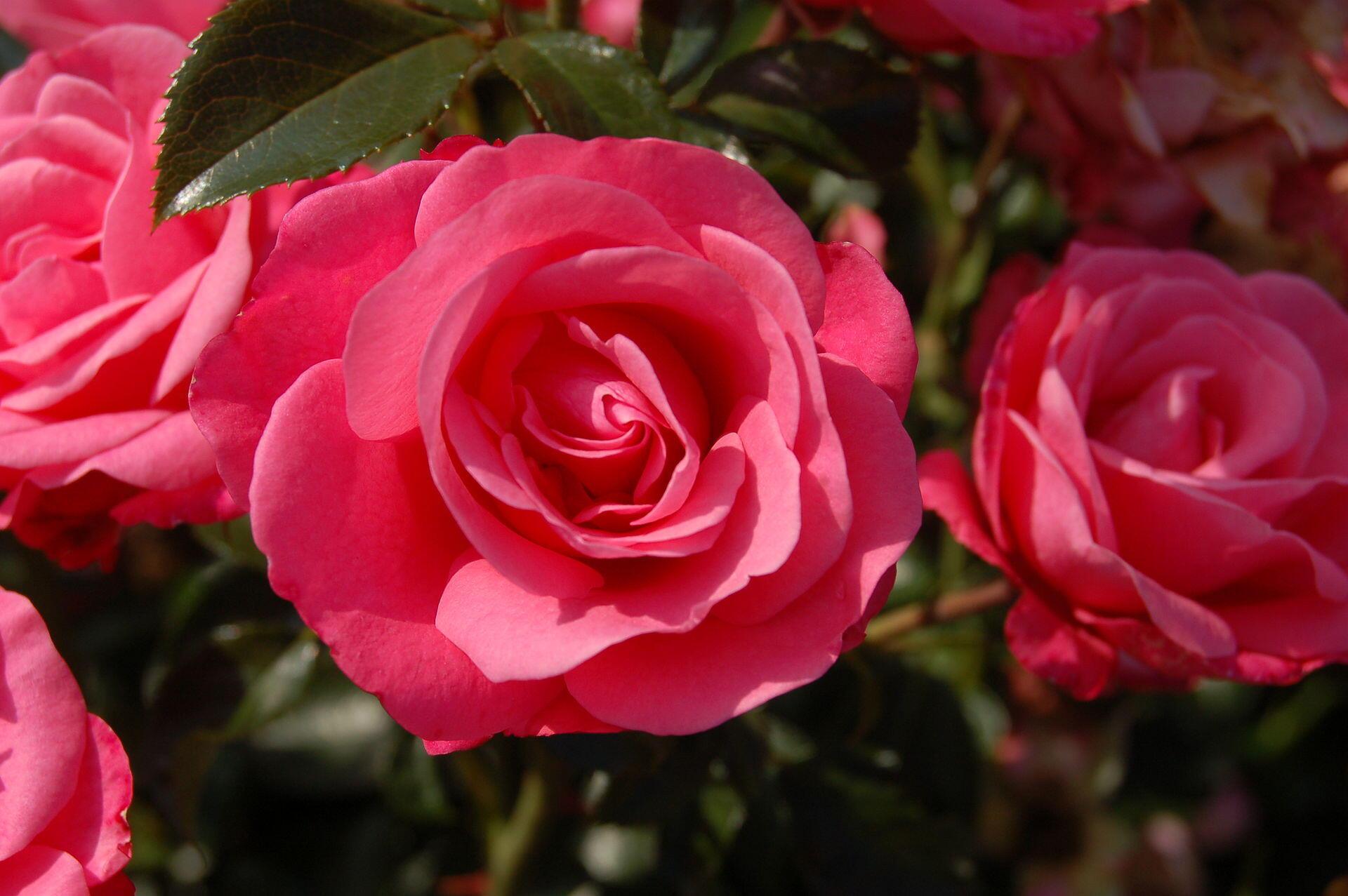 As exportações de rosas produzidas no Quênia trazem lucros de US$ 500 milhões por ano.