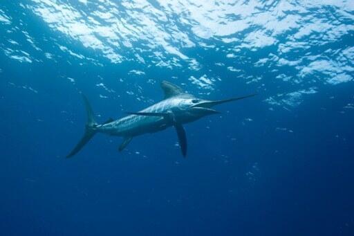 Nguồn cá tại châu Á-Thái Bình Dương sẽ bị cạn kiệt từ nay đến năm 2048 nếu không thay đổi cách đánh bắt. Ảnh minh họa