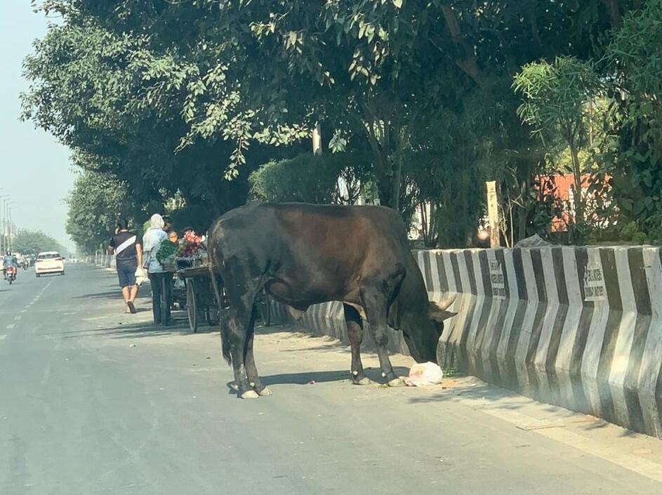 Stray stud bull forages for food on a motorway near New Delhi_22 Nov 2020_Prashant Singh