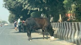 Stray stud bull forages for food on a motorway near New Delhi_22 Nov 2020_Prashant Singh