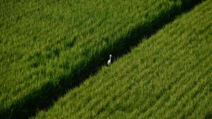Des rizières sud-coréennes, non loin de la zone démilitarisée dans la région de Paju.