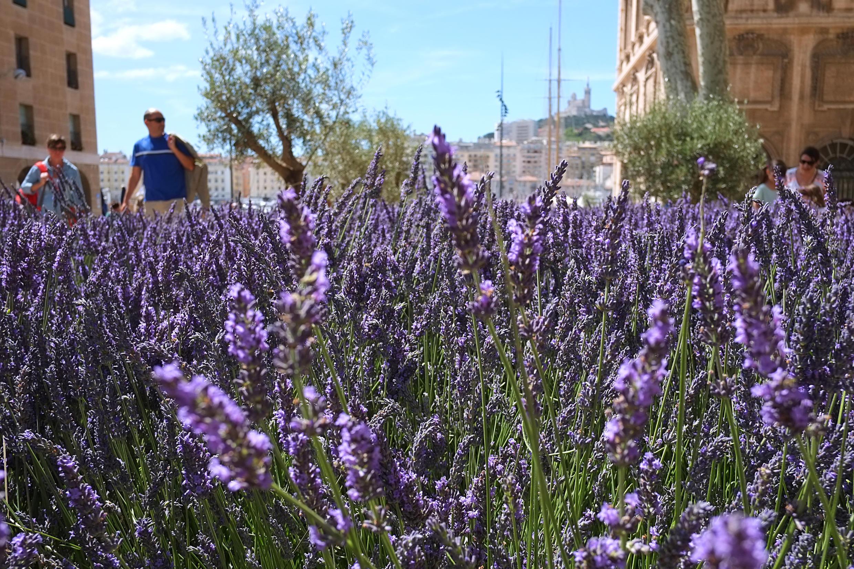 В Провансе некоторые туристы недовольны стрекотом цикад