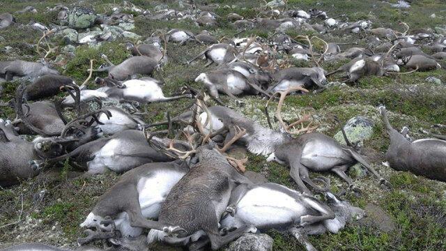 Imagem fornecida pelas autoridades norueguesas das renas atingidas por um raio.