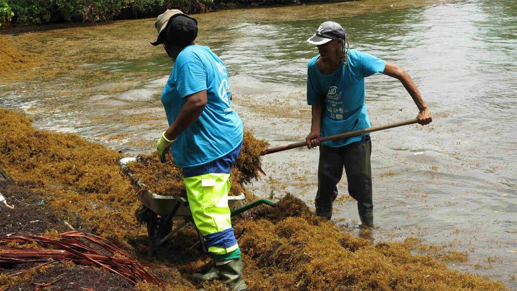 A la Trinité, le ramassage manuel des sargasses.