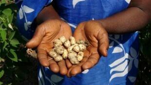 L'arachide est un aliment de base dans de nombreux pays africains.