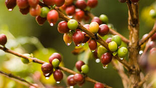 Graines de café du Brésil sur leur caféier.