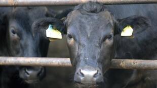 Bò tại nông trại ở Minamisoma, Fukushima. Chính phủ vừa ra lệnh cấm bán thịt bò nuôi tại vùng này. Ảnh chụp ngày 19/07/2011